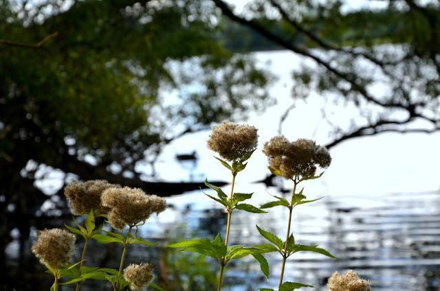 Gentofte Sø blomster