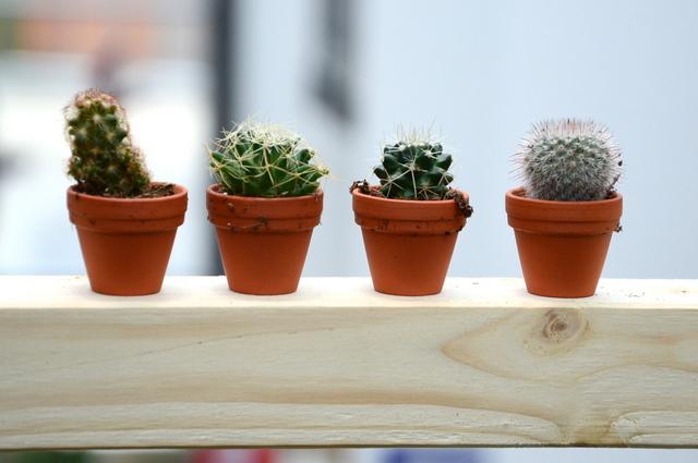Mini Kaktus